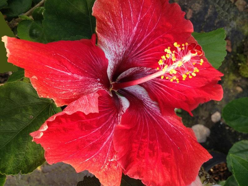 Yuletide Live Tropical Hibiscus Shrub Plant Hybrid Exotic Etsy