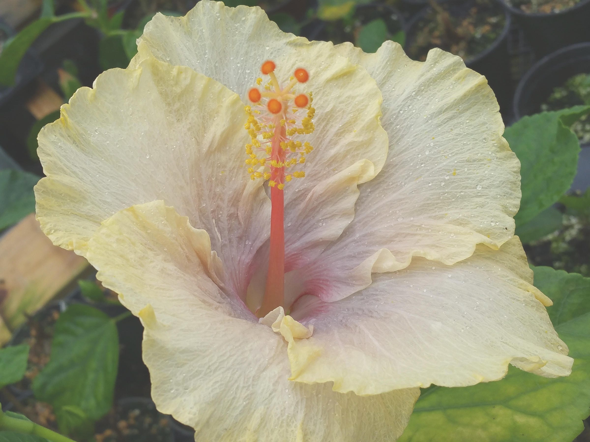 Fairy Music Tropical Hibiscus Plant Single Pale Yellow Etsy