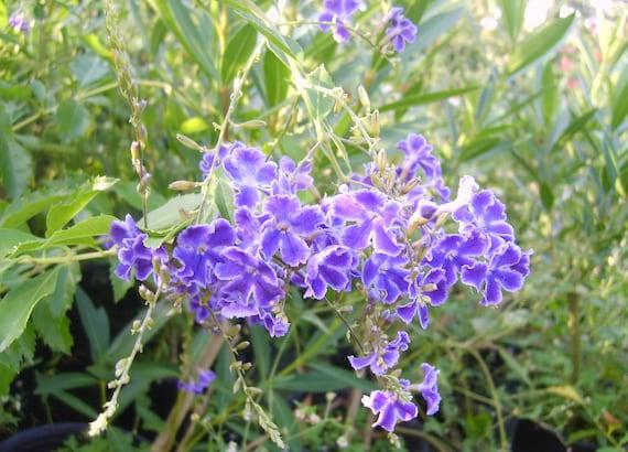 SAPPHIRE SHOWERS Purple Duranta Semi Tropical Plant Sky Flower Golden Dew Drop