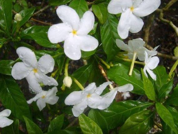 Pinwheel crepe crape false jasmine live plant shrub etsy image 0 mightylinksfo