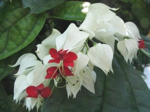 White Bleeding Heart Vine Plant Clerodendrum Thomsoniae Unique Etsy