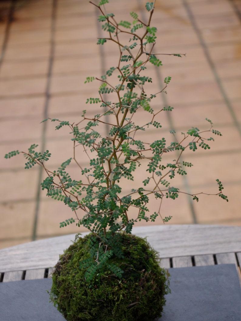 Kokedama   Sophora   little baby  moss ball image 0