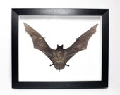 REAL Mastiff Bat in Frame...