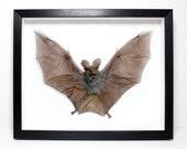 Huge False-Vampire  Bat F...
