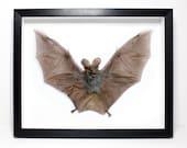 Huge False-Vampire  Bat Framed  - Teeth, Horror, Skull, Oddity, Goth, Gothic, Taxidermy, Real, Shadowbox Frame