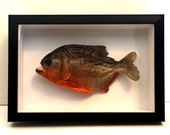"HUGE Taxidermy PIRANHA 20cm (8"") Framed UK - Dry Red Bellied Piranhas from Amazon 3D Preserved"