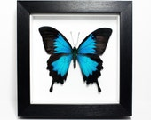 REAL Blue Ulysses Butterfly Framed (Papilio ulysses) UK - nature, beauty, insect, taxidermy, natural history