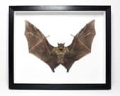 """MASSIVE Fruit Bat Framed (12""""x16"""") - Teeth, Horror, Skull, Oddity, Goth, Gothic, Taxidermy, Real, Shadowbox Frame"""