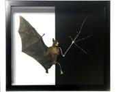 HUGE Half Skeleton Taxidermy Fruit Bat Framed REAL -  Oddities, Goth, Gothic, Taxidermy, Shadowbox Frame