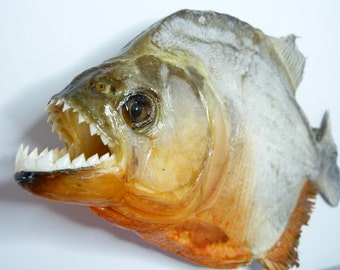 Real Taxidermy PIRANHA - Dry Red Bellied Piranhas, Curiosities, Natural History, Oddities