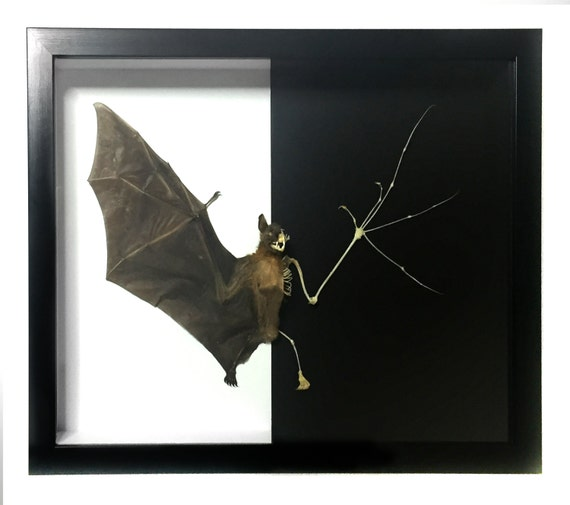Greater Short-nosed Fruit Bat Cynopterus sphinx Skeleton FAST FROM USA