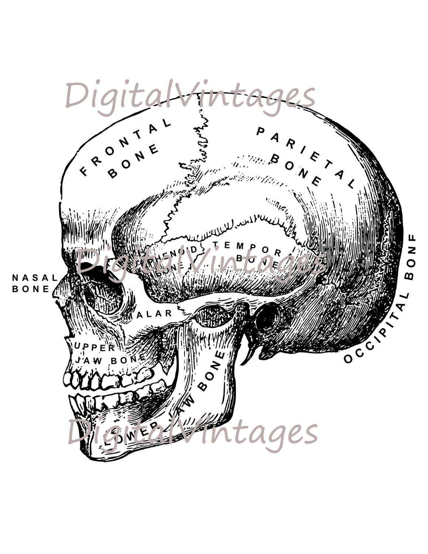 Humanos cráneo diagrama gráfico descargar imprimibles gráfico ...