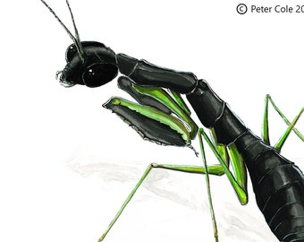 Asian Ant Mantis - Insect Print
