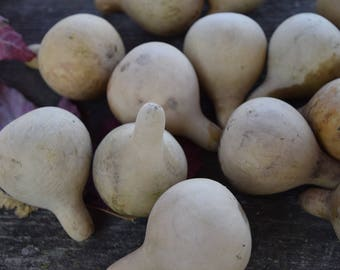 Ten Dried Tennessee Spinning gourds, for crafts