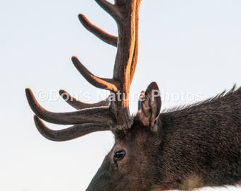 Male Elk , Rocky Mountain National Park, Colorado. 8X10 #2069