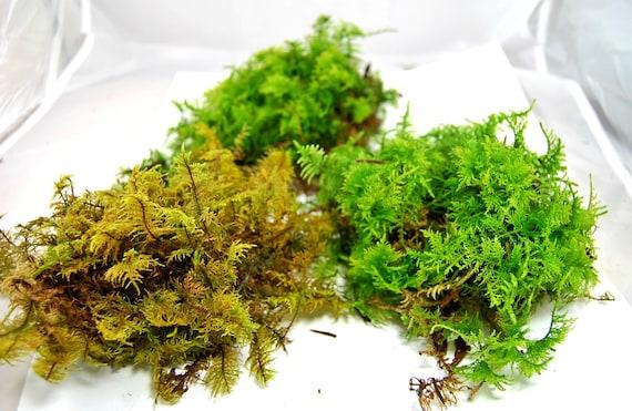 Live Moss Mix Terrarium Moss Vivarium Moss For Miniature Or Etsy