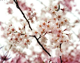 Cherry Blossom Sakura Photography. Nature Photography.  Flower & Garden Photography.  Spring Photography. 8x12 Print