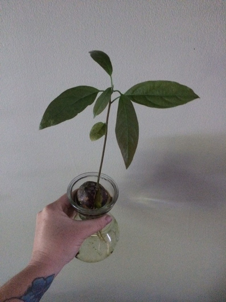Avocado tree / sprouted avocado seed / avocado pit