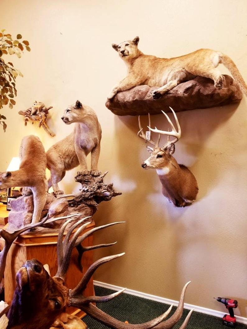Log Cabin Decor Large Eastern Whitetail Deer Shoulder Mount Antlers Real Taxidermy Vintage Home Decor Rustic Deer Antlers