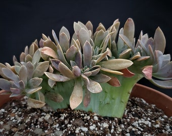 Live Succulent in 4 Pot Small Agave Collectible Weird Plant Agave potatorum cv Unusual Agave Cubic #2* Beautiful Rosette Shape