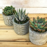 """Succulent gift planted in a 2.5"""" whitewashed planter-Hostess Gift-Succulent Rosettes-Desk Decor-Get Well Gift-Party Favors-Teacher Gift"""