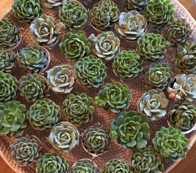 60 Succulent wedding Favors-Succulent Bridal Shower image 0