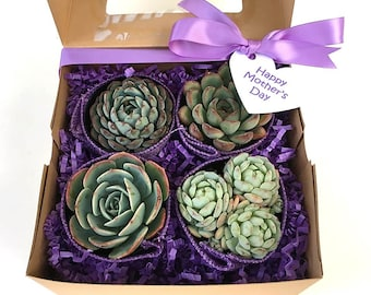 Purple Succulent Gift Box w/ 4 beautiful 2.5 inch succulents, Birthday Gift, Get Well Live Succulent Gift Box, Succulent Box, Plant Gift Box