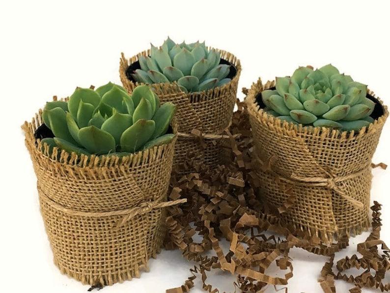 12 Rustic Succulent Favors-Succulents-Succulent Party image 0
