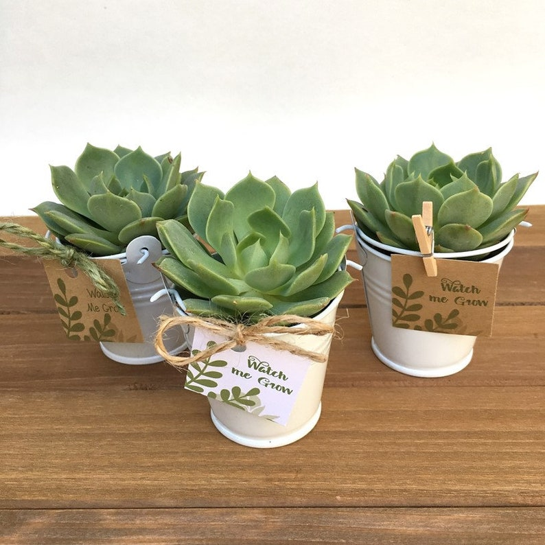 12 Succulent Wedding Favors-Fall Wedding image 0