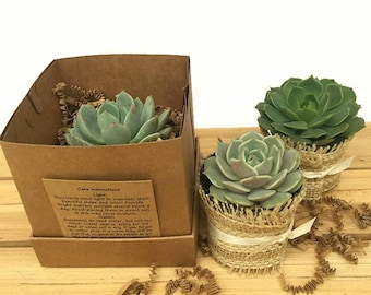 Set of 12 Individual Succulents in Gift Boxes-Succulent Favor-Thank You Gift-Bridesmaid Gift-Bridal Shower Favor-Wedding Favor-Client Gift