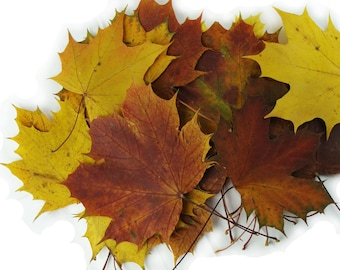 Autumn maple leaves .Natural real yellow, red, brown dried pressed. Lot of 25 units.Botanical florist material for your arts, wedding decor.