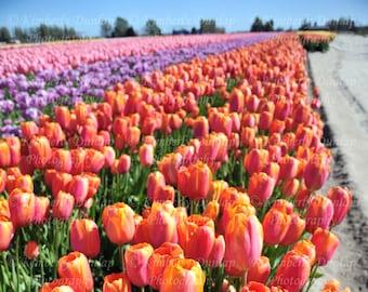 Fine Art Tulip Field Photograph {Flower Blossom Photo, Floral Photography, Orange Purple Pink Lavender Picture, Over-sized Garden Print}