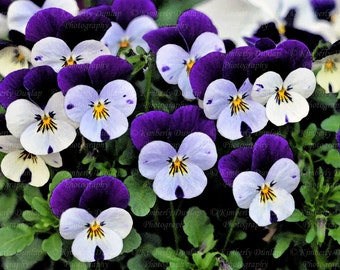 Fine Art Violet Pansies Photograph (watercolor filter) {Flower Photo, Floral Photography, Pansy Picture, Purple Blue White Yellow, Painting}