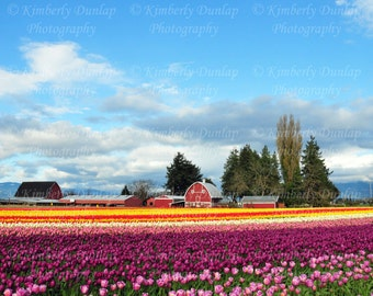 Fine Art Tulip Field Photograph {Flower Photo, Red Barn Print, Floral Photography, Bloom Picture, Skagit Valley Festival, Pacific Northwest}