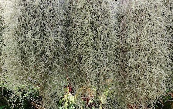Fresh Live Air Plants Tillandsia Usneoides Spanish Moss 2 3 Etsy