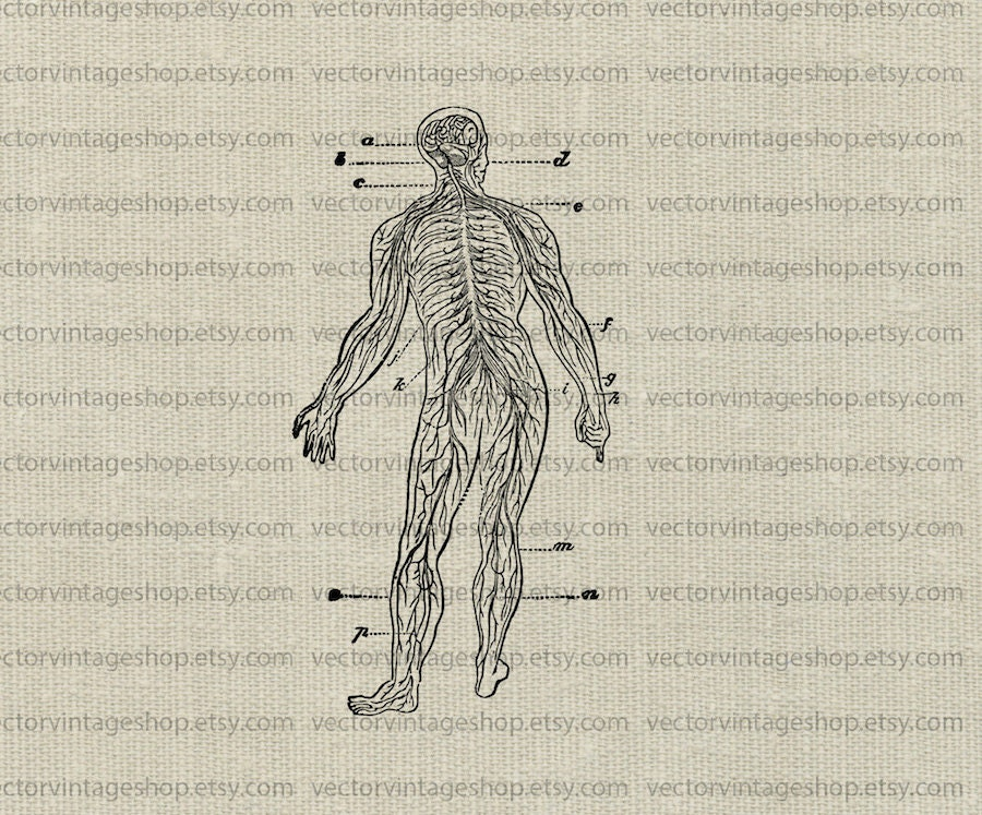 Human Nervous System Vector Clipart Instant Download Human Etsy