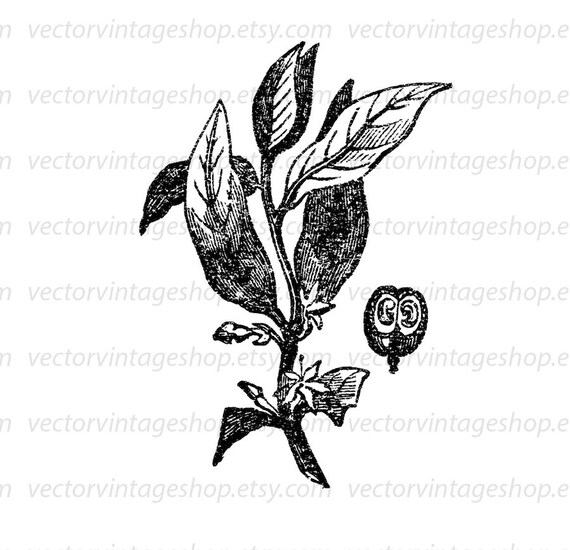 Coffee Plant Clipart Botanical Art Illustration Vector Etsy