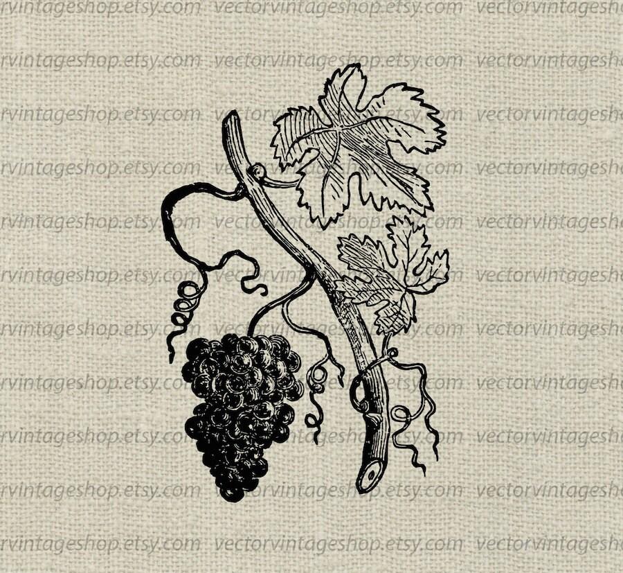 Grapevine Vector Instant Download Grape Leaves Vine Tendrils | Etsy
