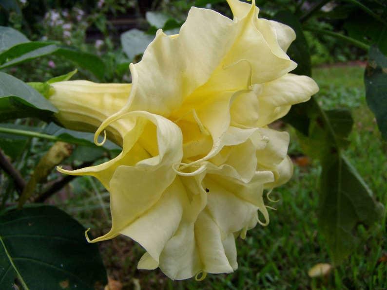 Tropical-Fragrant PURPLE QUEEN Datura Metel Seeds Rare /& Unusual 20 Seeds