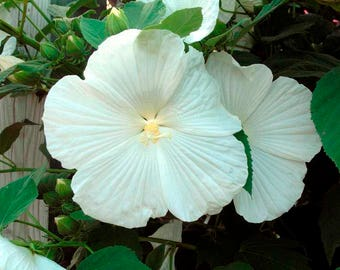 Hibiscus moscheutos BLUE RIVER II white 8 seeds