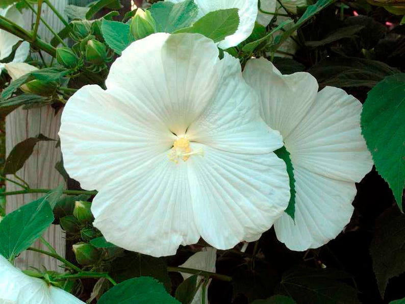 Hibiscus Moscheutos Blue River Ii White 8 Seeds Free Shipping Etsy
