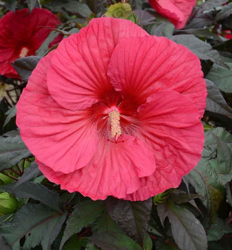 Hibiscus Mars Madness Cold Hardy Pint Plant Dormant Free Etsy