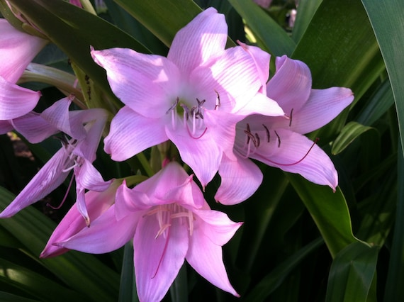 crinum powellii rosea powell lily cape lily river lily 2 yr etsy