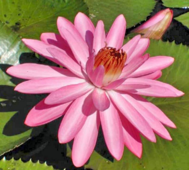 Nymphaea capensis Night Blooming Pink Lotus 8 seeds FREE SHIPPING