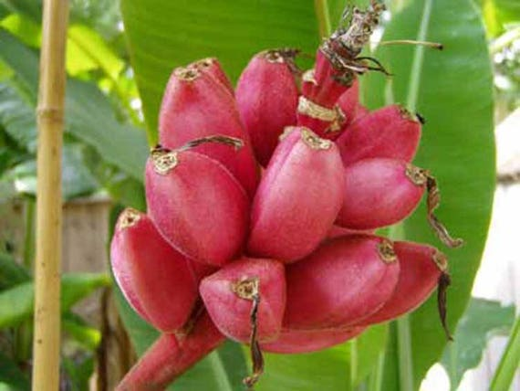 PINK BANANA PLANT 10 Seeds Musa velutina very easy to grow EXOTIC