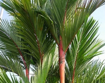 Cyrtostachys renda Sealing Wax Palm 10 seeds