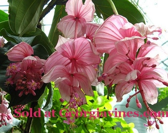 Medinilla magnifica Malaysian Orchid 8 seeds