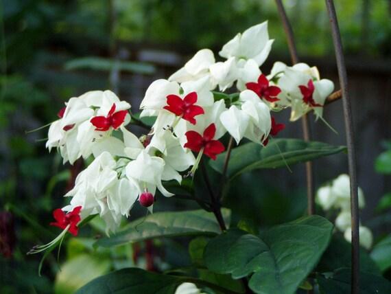 Clerodendrum Thomsoniae White Bleeding Heart Quart Dormant Etsy