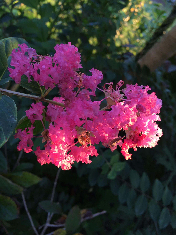 Crepe Myrtle Lagerstroemia cv. Miss Sandra quart plant FREE | Etsy