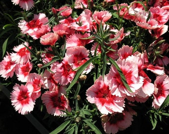Dianthus Strawberry Parfait 5 Pint Plants FREE SHIPPING